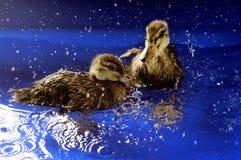 Swimming ducks. Ducks swimming in blue water Royalty Free Stock Photos