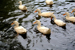 Swimming ducks in chinese country Stock Photography