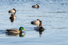 Swimming ducks in the Copenhagen Lakes. Male mallard and pochards swimming around in one of the Copenhagen Lakes. In Copenhagen there is three major lakes where Royalty Free Stock Image