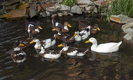 Swimming with ducks. Ducks swimming on water in the village Stock Image