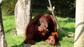 Swimming ducks and eating male Bornean orangutan stock video