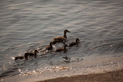 Swimming ducks family. Swiming ducks family in the river Dnieper royalty free stock photo