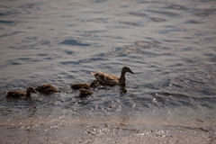 Swimming ducks family. Swiming ducks family in the river Dnieper stock photos