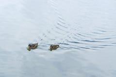 Swimming ducks Royalty Free Stock Photo