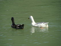 Swimming ducks. Pair of black and white ducks taking a dip in pond in Lake View Resort, Bhaderwah Stock Photo