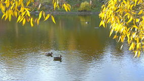 Swimming ducks. Shot is taken during warm autumn day. Two ducks are swimming in pond with beautiful reflection and yellow leaves stock video