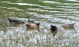 Swimming ducks Stock Photography