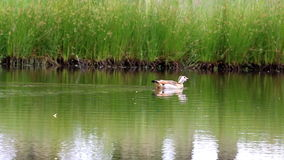 Swimming Egyptian geese in a dutch pond stock footage
