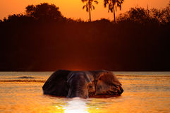 Swimming Elephant Stock Photography