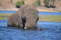 Swimming elephant royalty free stock photo