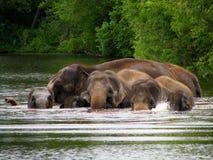 Swimming elephants Stock Image
