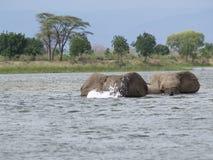 Swimming elephants. Elephants crossing Zambezi river, Zambia Royalty Free Stock Photos