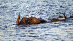 Swimming elephants in Chobe River Stock Image