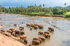 Swimming elephants. In Pinnawala River Stock Images