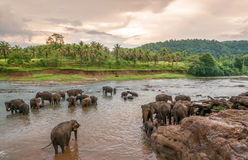 Swimming elephants. In Pinnawala River Stock Photography