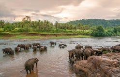 Swimming elephants Stock Photography
