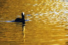 Swimming Eurasian Coot during sunset  - Bedfont Lakes Country Park. United Kingdom Stock Photo
