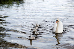 Swimming family of swans: Royalty Free Stock Image