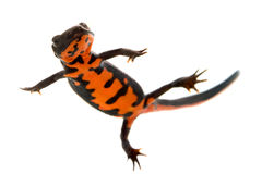 Swimming Fire Bellied Newt Stock Photos