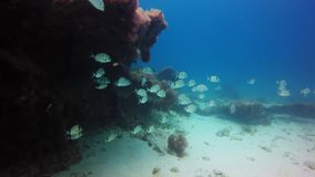 Swimming fishes. Location reef of fuerteventura , Canary Islands stock video