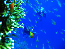 Swimming with the Fishies. A photograph showing several small transparent fish swimming near a piece of coral under the Red Sea royalty free stock images