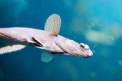 Swimming flatfish Stock Images