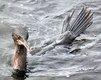 Swimming Flightless Cormorants (Galapagos, Ecuador). Flightless Cormorants: The flightless cormorant Nannopterum harrisi is endemic to the Galapagos Islands and Royalty Free Stock Images