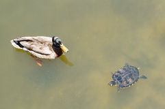 A swimming Florida red-bellied (turtle) and mottled duck Royalty Free Stock Images