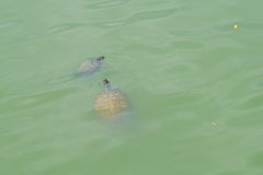 Swimming Florida red-bellied cooter Royalty Free Stock Images