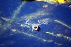 Swimming frog Royalty Free Stock Images