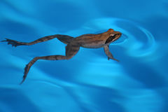 Swimming frog. Floating frog in the blue swimming-pool Royalty Free Stock Images