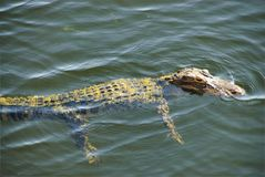 Swimming gator Stock Images