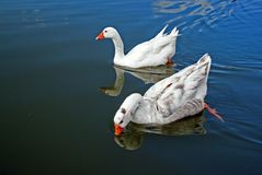 Swimming geese Royalty Free Stock Photos