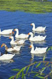 Swimming Geese Formation Royalty Free Stock Images