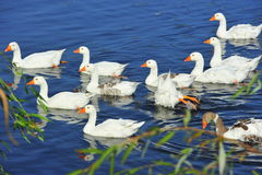 Swimming geese formation Royalty Free Stock Photos