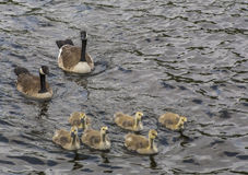 Swimming Geese With Goslings Royalty Free Stock Photography