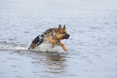 Swimming Germany shepherd dog Stock Images
