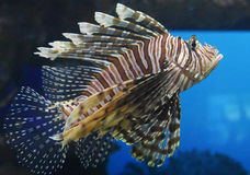 Swimming and Gliding Zebrafish Heading Toward Blue Waters. Gliding zebrafish swimming towards blue waters Stock Photo
