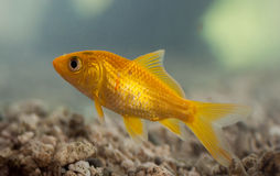 Swimming gold fish in aquarium Royalty Free Stock Image