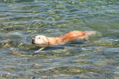 swimming golden retriever Stock Photography
