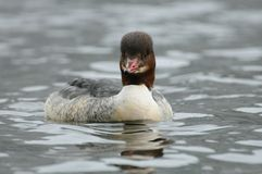 Swimming Goosander. This female waterbird belongs to the ducks Royalty Free Stock Photos