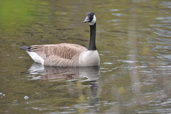 Swimming goose. Royalty Free Stock Images