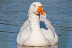 Swimming Goose Royalty Free Stock Image