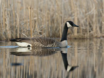 Swimming Goose royalty free stock photography