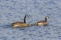 Swimming Goose family. A Canada Goose family Branta canadensis swimming on blue water with six small goslings Royalty Free Stock Photos