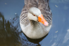 Swimming goose Stock Photography