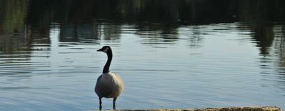 Swimming goose Stock Images