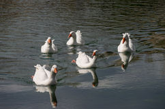 Swimming gooses Stock Photos