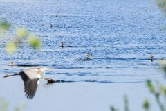 Swimming great cormorants, Rammelwaard, Holland royalty free stock images