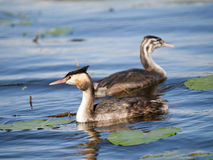 Swimming Great-crested Grebe Stock Photography